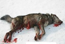 exactly who wants to kill all our wolves? / Idaho has declared war on its wolf population. Few people realize just how far Idaho has gone in its effort to dramatically reduce their population.   At the end of 2013, it was estimated that there were only 20 breeding pairs of wolves left in Idaho, and that number will surely steeply decline if Idaho's War on Wolves continues.  Since 2009, the number of breeding pairs has declined by 60%. Based on these numbers, the future of Idaho's wolves is increasingly grim. (Inspired by Sonia Baxter.)