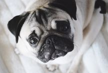 PUK the pug ✨