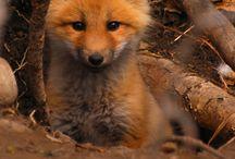 ♥Fox♥