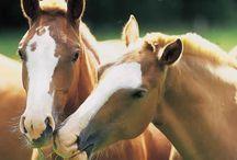 Amazing Horses / Regroupe tous ce qui concerne cet animal majestueux qu'est le cheval (photos, dessins, créations...)