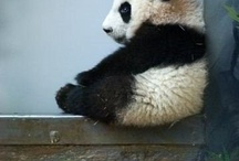 Pandas Gods gift to the animal world. / by Shannon ONeill