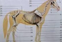 Kôň-ANATÓMIA