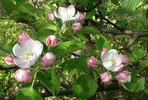 Virágzó fák..