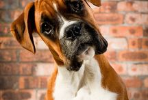 Boxers / by Dogsclub .TV