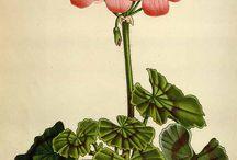 ♣ botanical prints ♣