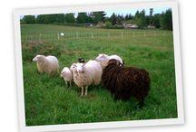 Schafe, Wolle und spinnen / Alles was man zum spinnen braucht: rohwolle, karden, spinnrad