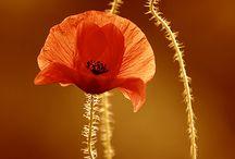 Mezei virág,napraforgó
