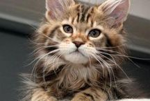 Maine coon my love