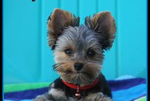 #DailySnickers / #DailySnickers is photo of the life of Snickers my little Yorkie!