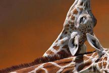 Girafas :)
