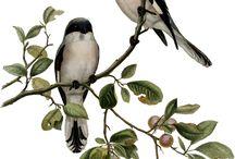 madár színes / bird Vintage transfer colorful transzfer