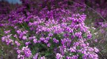 The Colour Purple / Inspired by the heather on the North York Moors, Yorkshire