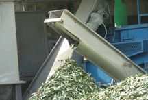 Olive oil production in Chianti / The annual olive harvest takes place in November.