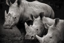 Rhinos / Since they can't speak for their rights, so should we. Protect this great animal.