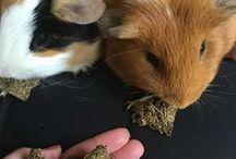 DIY Guinea Pig Treats and Toys