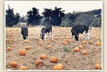 Pumpkin Patch / A U-Pick Pumpkin patch on an organic dairy farm. Pick pumpkins straight from the vine. A variety of sizes, colors, gourds, ornamental corn, and new this year, a U-Pick edible section of squashes & tomatoes.  Also enjoy free activities; watching cows being milked in the parlor, hay maze, petting farm, seed (sand) box. Lunch available, as well as a BBQ Fundraiser on October 12. Partake in guided farm tours, bounce house, and a hay rides.