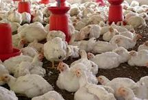 Poultry companies in India