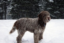 Lagotto and other animals