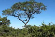 bloodwood tree