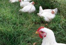 Arka bahçe tavuk