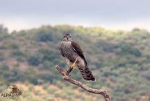 Hide de la Dehesa / Uno de los mejores hides para disfrutar de las especies de aves típicas y alguna rareza en las dehesas de Sierra Morena