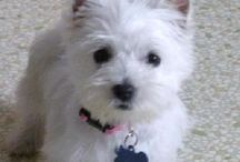 Westies / The Best of dogs