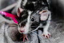 Ratties