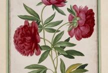 Tavole botaniche peonie