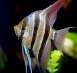 "ryby akwariowe rybki gatunki / Akwariowe ryby zdjęcie opisy gatunki <a href=""http://ryby-akwariowe.blogspot.com/"">ryby</a>"