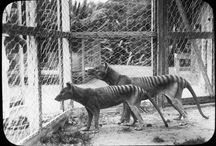 Thylacines