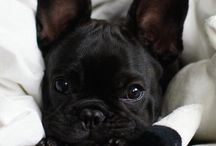 -French bulldog-