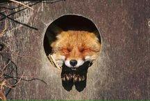 Líška je časťou mojej duše...