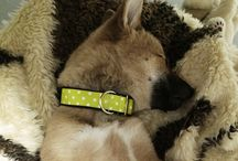 Morrows DOGGY collars & leads / Dotted adjustable and martingale collars and leads by Morrows.
