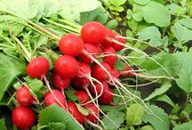 Plante medicinale, aromatice