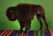 Standard Poodle-fun cuts / by Michele Hodge