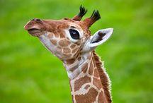 I ❤ giraffes!  / by Tiffany Tilley
