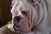 Bulldog Love / by Miss Vicious