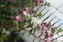 Σπόροι / Seeds / Semi / Η PlantsAndSeeds διαθέτει στη αγορά σπόρους  α)Κάππαρης β)Κρίταμο  γ)Λαγκαστρέμιας δ)Βραχυχίτωνα ε)Κουτσουπιάς στ)Ακακίας Κωνσταντινουπόλεως Ολοι οι σπόροι συλλέγονται από υγιή φυτά και διατηρούνται νωποί