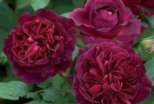 růže - roses