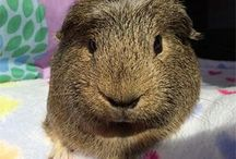 guinea pig love ❤