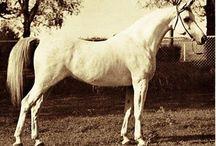 Foundation Arabians