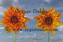 Dahlia Video Clips / Time-lapse video clips of growing, opening, rotating and dying dahlia flowers