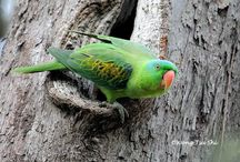 Greatbilled parrot
