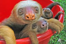 Oh Perezoso / Sloths, sloths, sloths.  They sleep 18 hours a day and they're oh so cute.