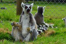 My Lemur pics