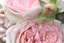 Rosen / Königin der Blumen