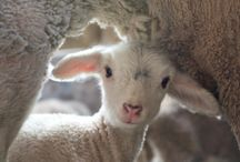 lambs and other cute animals