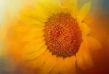Sunflowers / I love all things sunflower!  These flowers add warmth to my world!