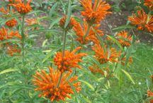 Hippocratic Herbs / eat your weeds.