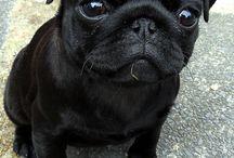 want a pug